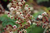 Цветы шикакая