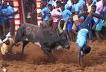 Традиционные индийские состязания по укрощению быков