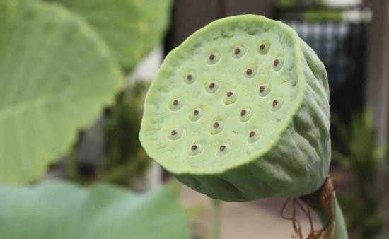 бутон с семенами лотоса