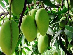 незрелые плоды манго