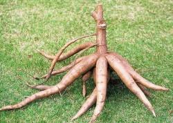 корни маниоки
