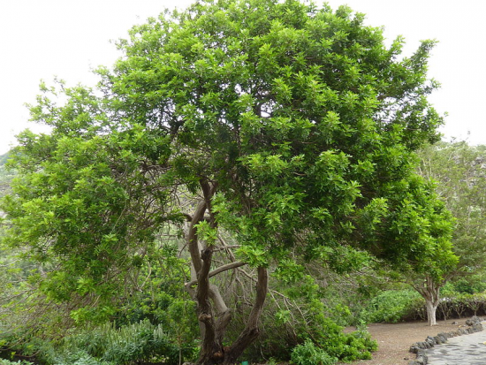 бразильское перечное дерево