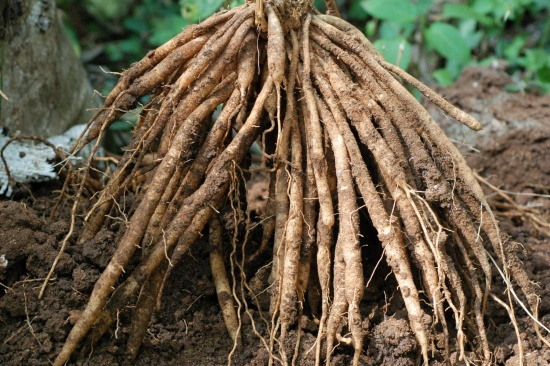 корень шатавари