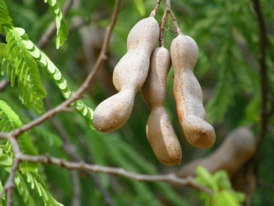 плоды тамаринда